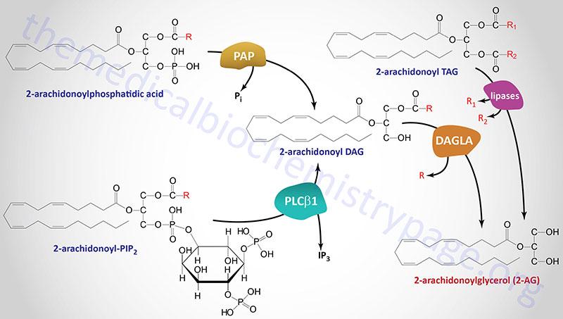 pathways for 2-arachidonoylglycerol (2-AG) synthesis