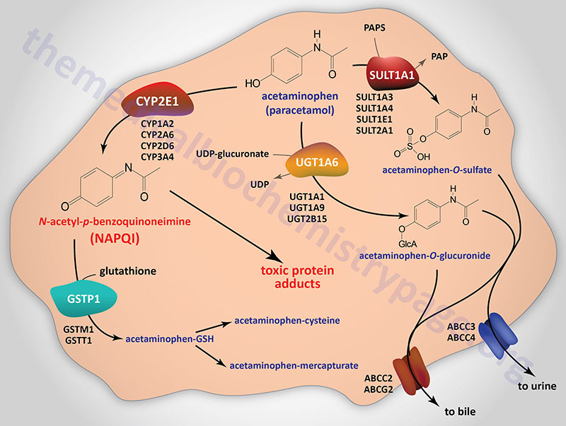 pathways of acetaminophen metabolism