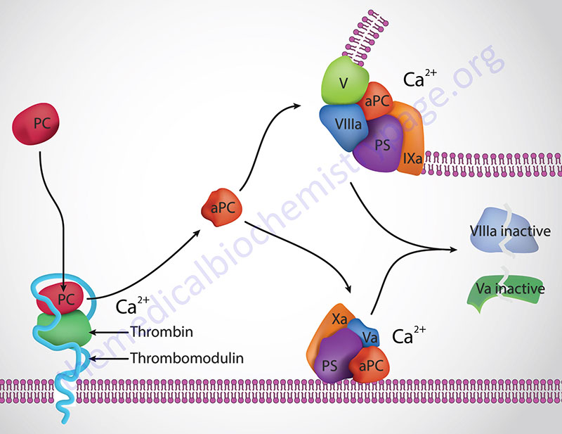 thrombin-mediated activation of protein C