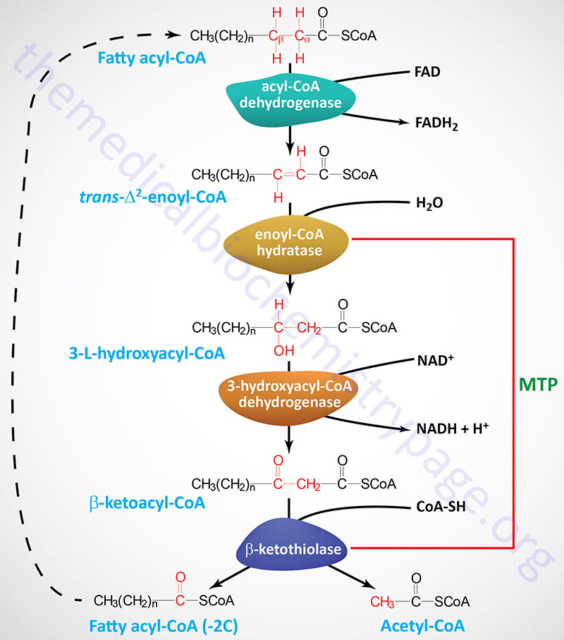 Pathway of beta-oxidation of long-chain fatty acids