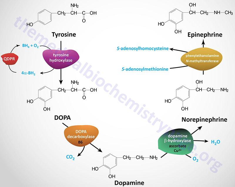Amino Acid Derivatives Synthesis Of Neurotransmitters Nitric