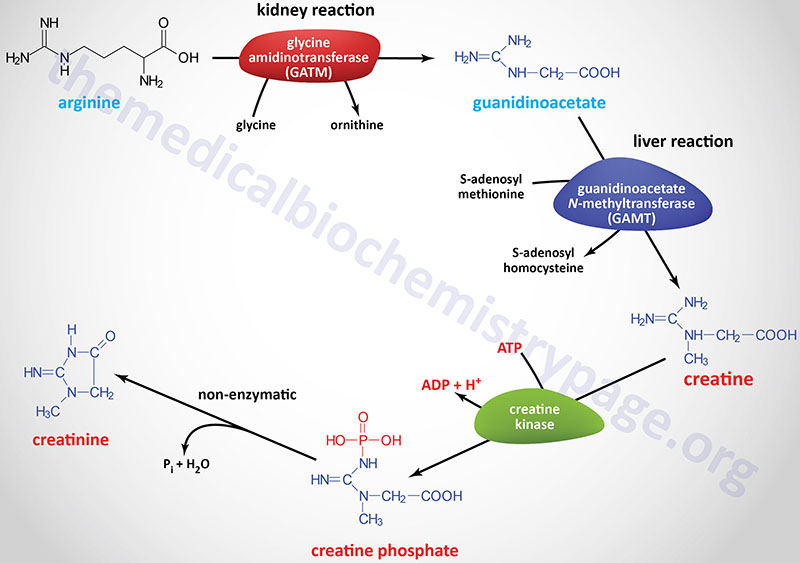Synthesis of creatine and creatinine