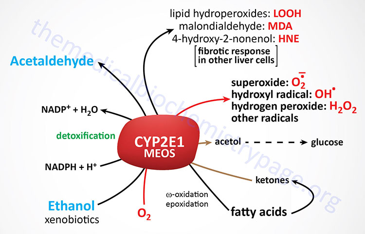 physiological and toxic activities of hepatic CYP2E1