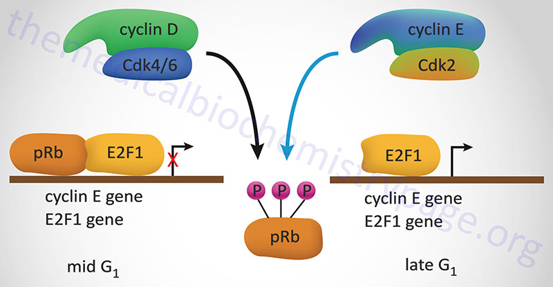 Regulation of transcription factor E2F by pRB