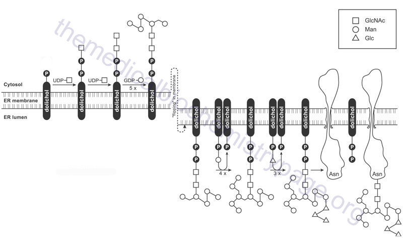 Linkage of carbohydrate to asparagine forming N-linked glycoproteins in the ER