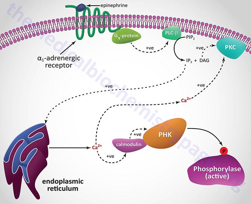 Regulation of glycogen phosphorylase via activation of α-adrenergic receptors