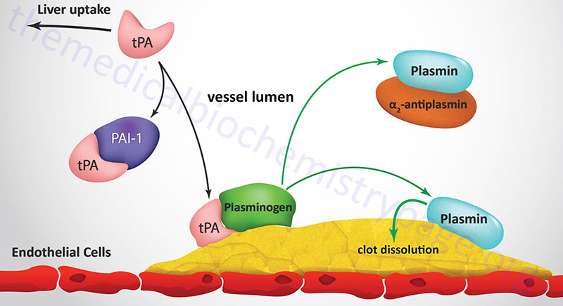 mechanism of tPA activation of plasmin and fibrin clot dissolution