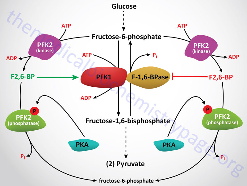 Regulation of glycolysis and gluconeogenesis by fructose 2,6-bisphosphate (F2,6BP)