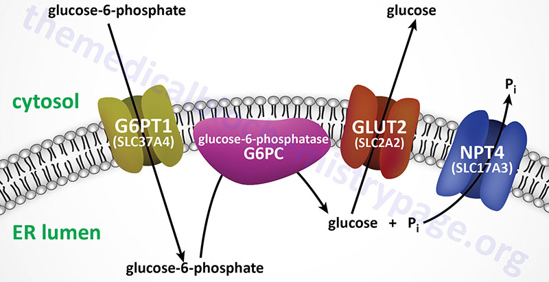 Reactions in the ER to convert glucose-6-phosphate to glucose