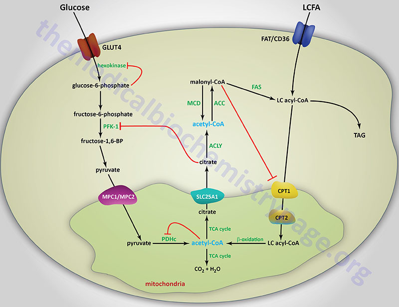 The glucose-fatty acid cycle