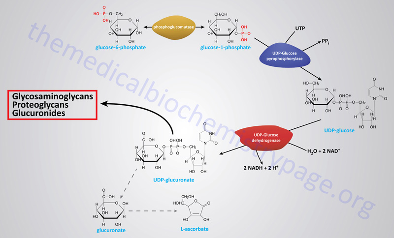 Synthesis and metabolism of glucuronate