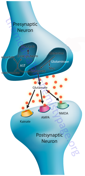 structure of a typical synapse (glutamatergic)