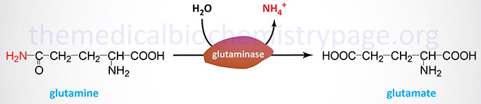 Reaction catalyzed by glutaminase