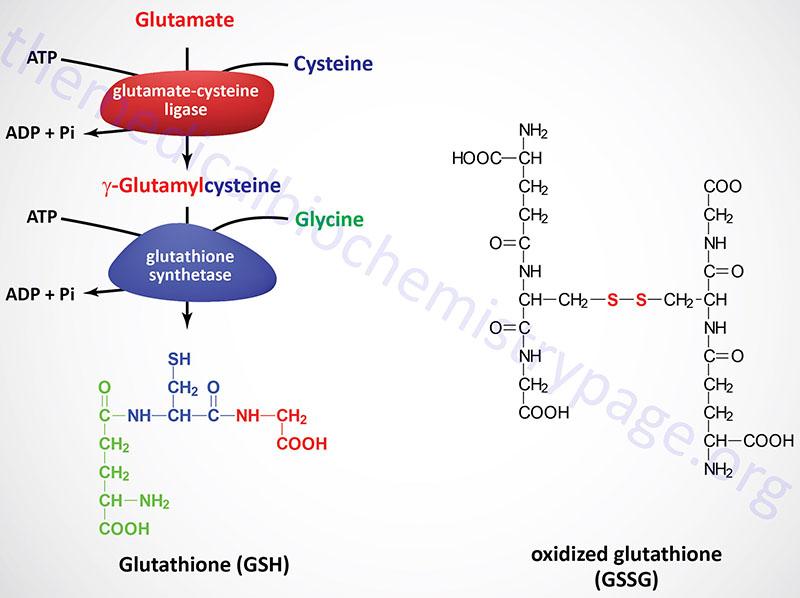 Synthesis of glutathione (GSH) and formation of oxidized glutathione (GSSG)