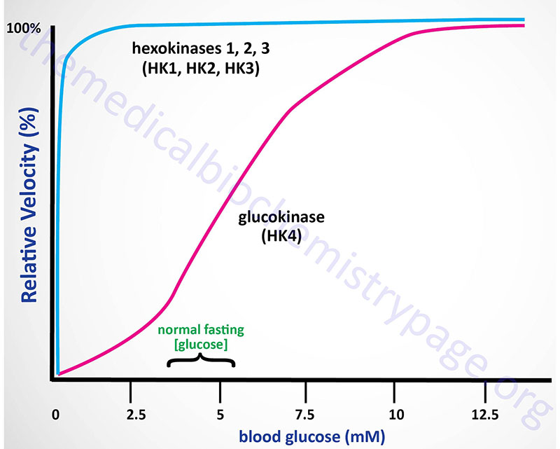 Saturation curves comparing hexokinase and glucokinase