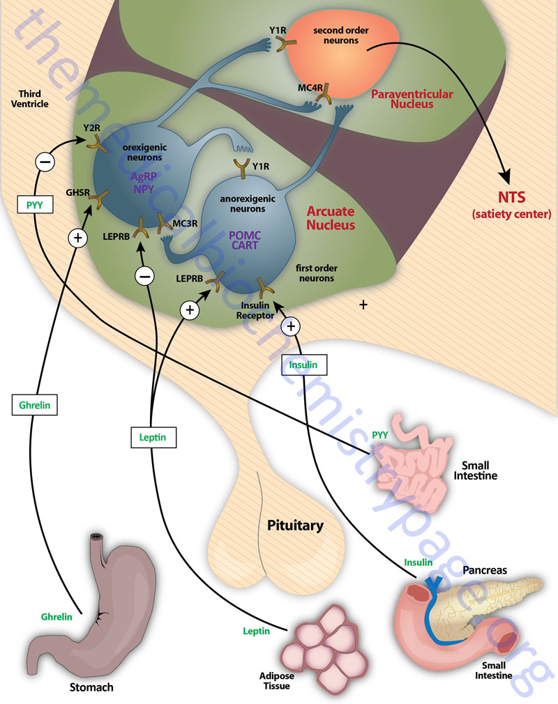 Hypothalamic circuits in the control of appetite