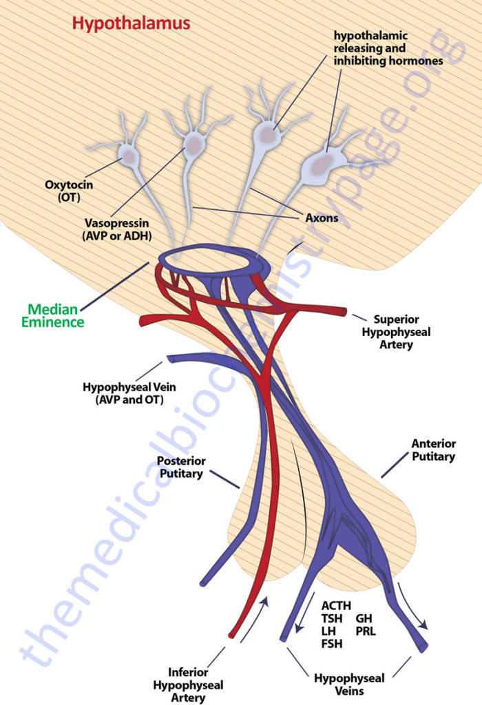 The hypothalamic-pituitary axis
