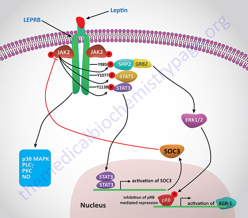 Signal transduction pathways activated by leptin receptor