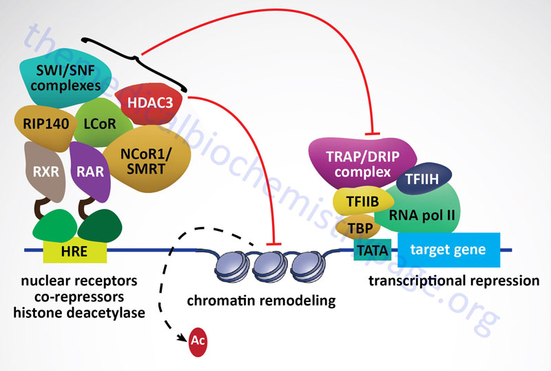 model of nuclear receptor (NR) corepressor complex assembly at a target gene