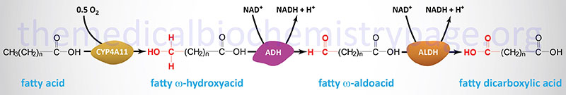 Pathway of microsomal omega-oxidation of fatty acids