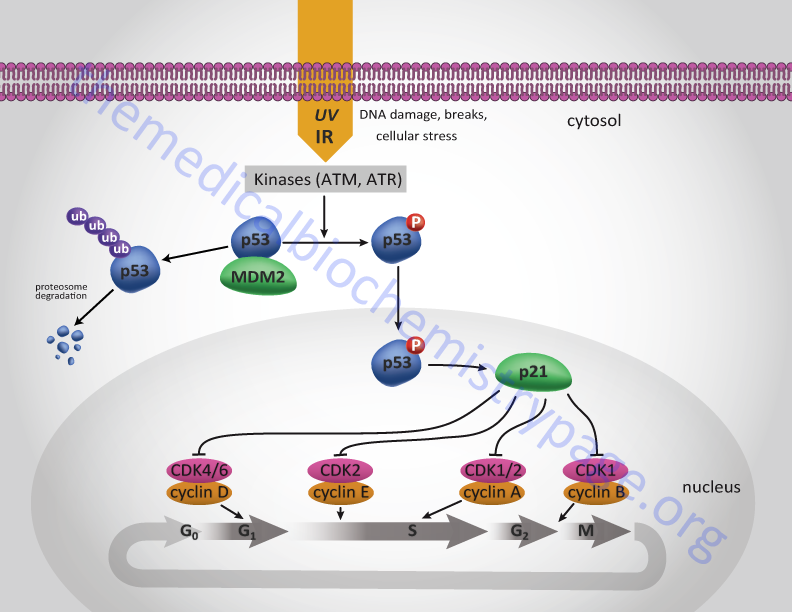 Transcriptional regulation of p21 gene by p53 and resultant effects on cell cycle progression