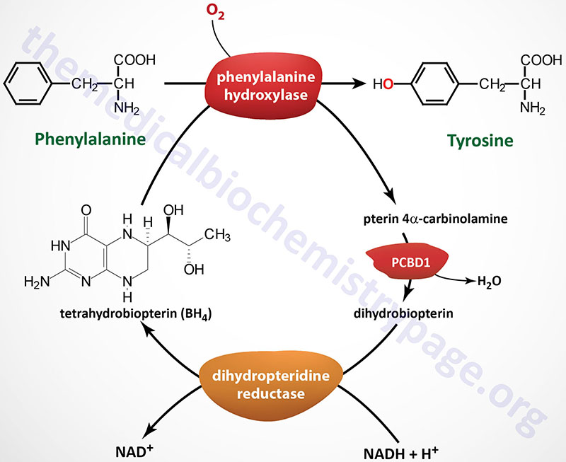 Reaction catalyzed by phenylalanine hydroxylase (PAH) in the synthesis of tyrosine