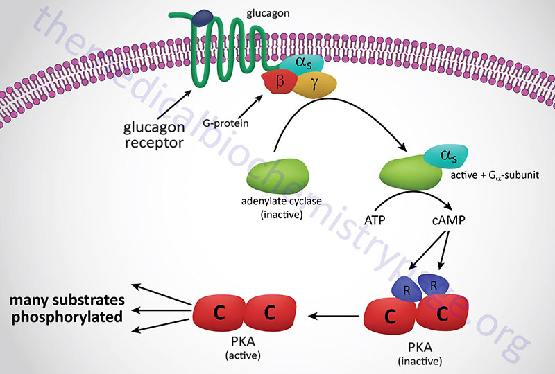 Representative pathway for the activation of cAMP-dependent protein kinase, PKA