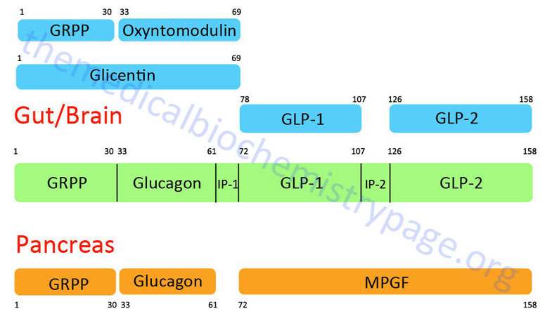 Structure and processing of preproglucagon