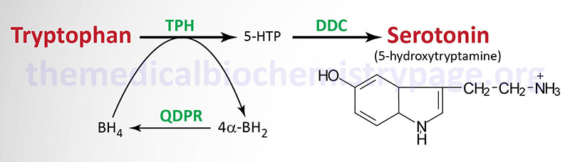 Pathway for serotonin synthesis from tryptophan