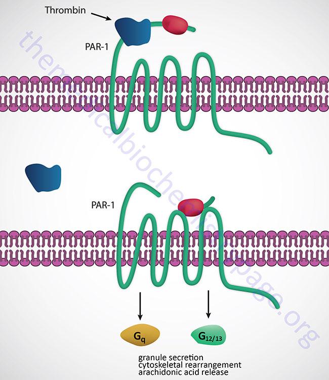 thrombin-mediated activation of PAR-1