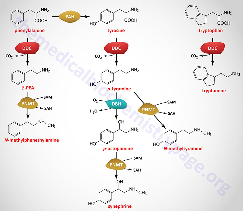 Structures and synthesis of the mammalian trace amines
