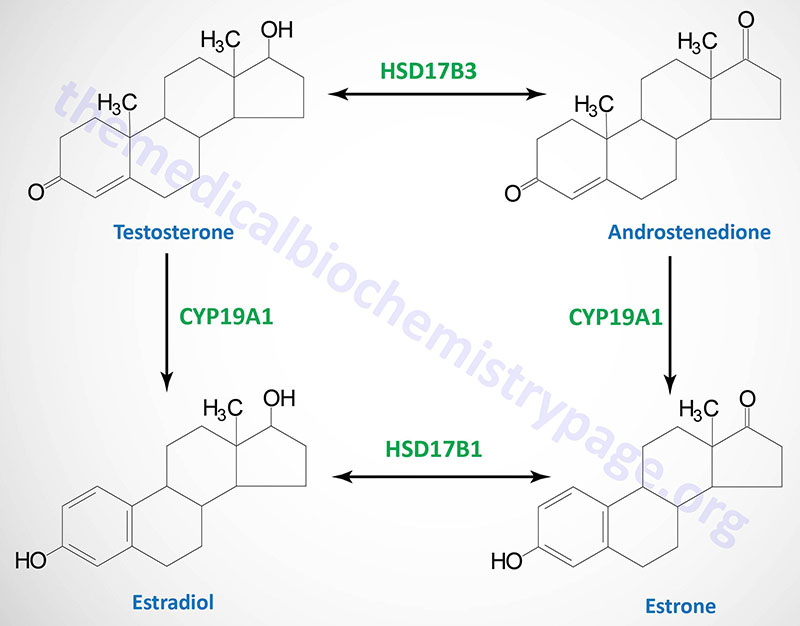 Synthesis of the major female sex hormones in the ovary