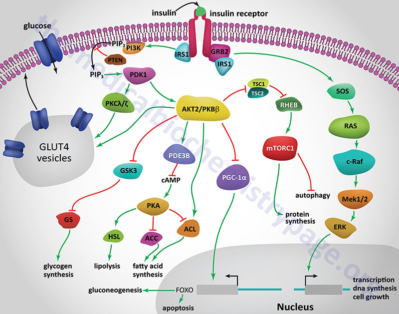 signal transduction pathways of the insulin receptor