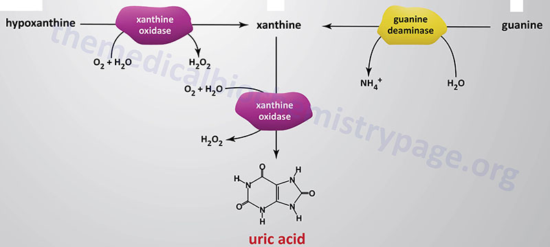 reactions of xanthine oxidase to uric acid