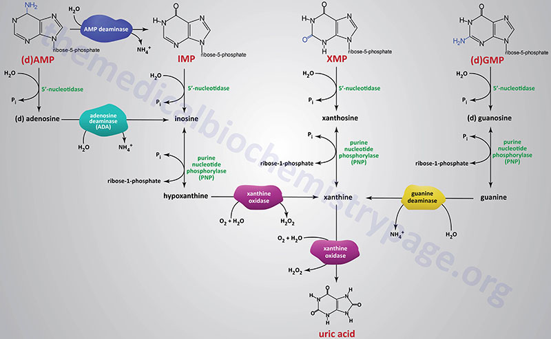 Pathways of purine nucleotide catabolism